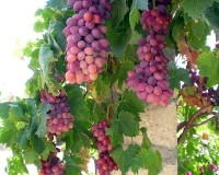 Herrlan Grape Jam E-Liquid